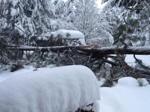 Fallen tree Christmas 2015